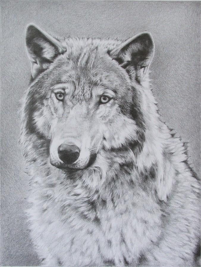 121 lupo disegno a matita gaia sorrentino disegnatrice for Lamantin materassi prezzo